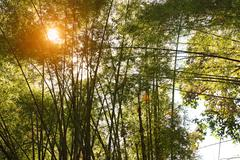wild bamboo forest with the setting sun behind - stock photo