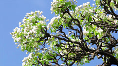 Sunlit pear blossom with green leaves Stock Footage