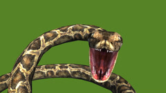 Snake & jungle carpet python open mouth attack,sliding decorative non venomous. Stock Footage