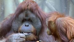 An orangutan male, eating boiled egg, and his little son Stock Footage