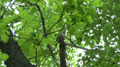 Nightingale singing on a branch. Stock Footage