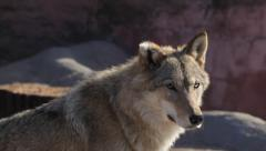 A cute sunlit wolf female with bitten ear off, attentively looking around Stock Footage