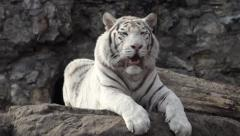 A young bengal tiger male, lying with open chaps and looking around - stock footage