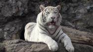 Stock Video Footage of A young bengal tiger male, lying with open chaps and looking around