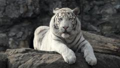 Following stare of a young white bengal tiger Stock Footage