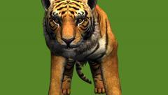 Tiger jumped to attack prey,wildlife animals habitat. Stock Footage