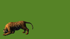 Tiger jumped to attack prey,wildlife animals habitat. - stock footage