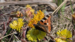 The butterfly collects nectar on primroses in the early spring Stock Footage