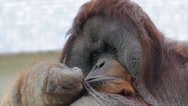 Stock Video Footage of Facial gesture of an orangutan male, expressive great ape with amazing cheeks