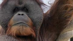Skin bag on the chest of an orangutan male, expressive great ape Stock Footage