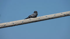 Pigeon on the rope at port Harbor Stock Footage