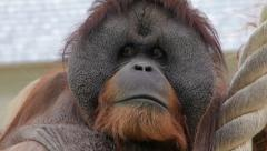 The expressive head of an orangutan male, human like great ape Stock Footage