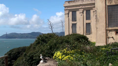 Alcatraz Island Federal Penitentiary. Seabirds habitation. Stock Footage
