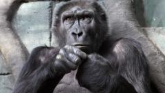 Hand care of an old gorilla female, very muscular monkey Stock Footage