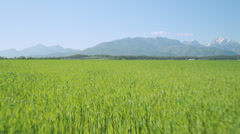 AERIAL: Wheat field growing in sunny spring Stock Footage