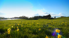 Wide Angle Park, Daffodils in Spring, Lens Flare Stock Footage