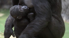 A gorilla female is breast feeding of her baby Stock Footage
