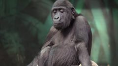 Child game of a gorilla cub with a sackcloth - stock footage