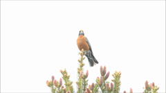 American robin chirping, spring time, Lakewood, Colorado Stock Footage