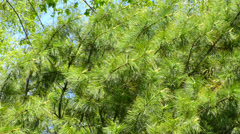 Closeup on the Cedar branches Stock Footage