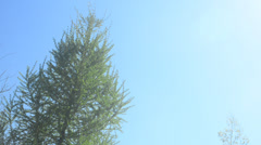 Larch tree (larix), clear blue sky Stock Footage