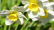 Stock Video Footage of closeup of windy flowers; the Narcissus (Daffodil)