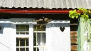Stock Video Footage of old rural window with robin nest