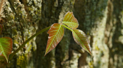 4K Poison Ivy (Toxicodendron radicans) Leaves 1 Stock Footage