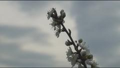 Blooming bush branch, riverbank Stock Footage
