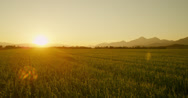 AERIAL: Green wheat field at sunset Stock Footage