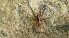 Wolf Spider (Gladicosa pulchra) 1 Stock Footage