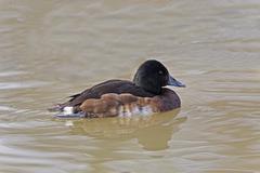 Female Baer's Pochard, Aythya baeri, swimming - stock photo