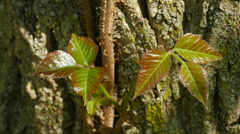 Poison Ivy (Toxicodendron radicans) Leaves 2 Stock Footage
