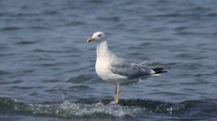 Herring gull looking around on the stone in the sea in summer, close-up Stock Footage