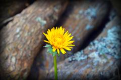 Yellow Dandelion Flower with Wood Background Stock Photos