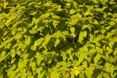 Philadelphus aurea background leaves Stock Photos