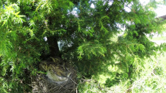 Song thrush nest with chicks / Turdus philomelos - protune Stock Footage