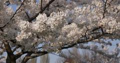 Ultra HD 4K Romantic couple date park spring flower cherry tree honeymoon happy  Stock Footage