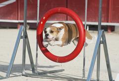 american bulldog in agility - stock photo