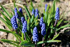 Some beautiful blue flowers of muscari Stock Photos