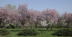 Ultra HD 4K UHD Onnellinen pari nauttia elämästä ajaa kirsikkapuu kukkii kukka kevät Arkistovideo