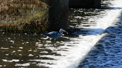 Heron hunting fish at a weir Stock Footage