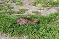 grey cat preparing to attack - stock photo