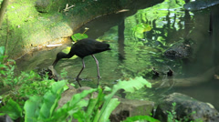 The Glossy Ibis (Plegadis falcinellus) Stock Footage