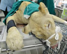 Veterinarian performing an operation on a lion Stock Photos