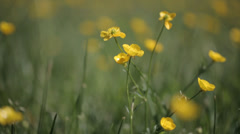Yellow wild flower13 Stock Footage