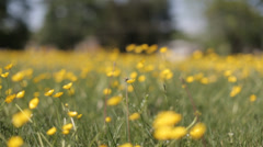 Yellow wild flower12 Stock Footage