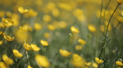 Yellow wild flower11 Stock Footage