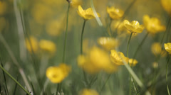 Yellow wild flower4 Stock Footage