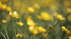 Yellow wild flower1 Stock Footage